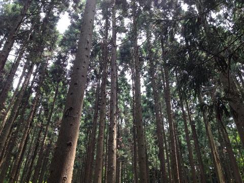 気持ちのいい杉林からの木漏れ日