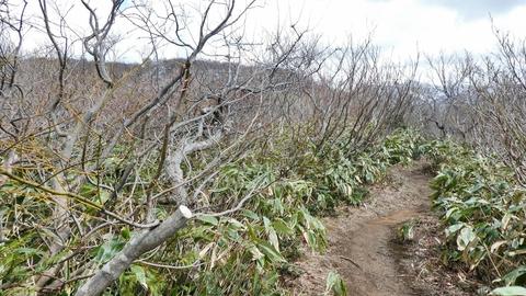 気がつけば低木クマザサの高原ムード
