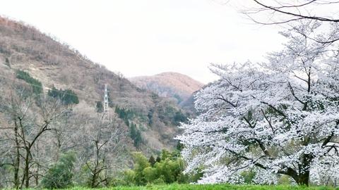 4月。桜が綺麗でした。奥はダムの真上を通る大黒部幹線鉄塔66番