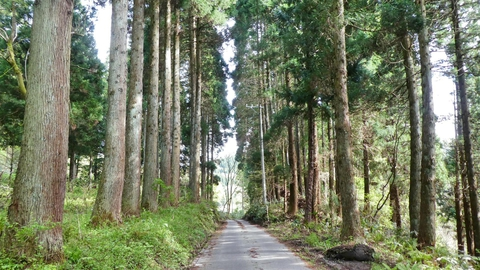 杉林を下っていく