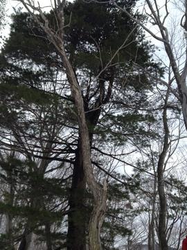 クロマツの木