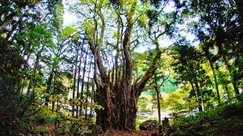 白山神社の大カツラ