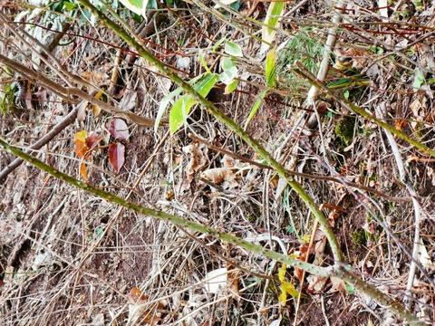 刺さるとかなり厄介な茎。なんだろう