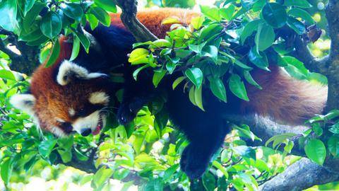 西山公園のレッサーパンダ