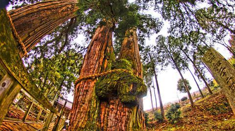 栢野の大杉