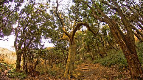人の手のようなヤブニッケイの木々