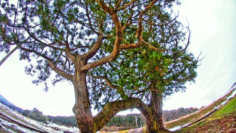 衣かけの大杉の全貌