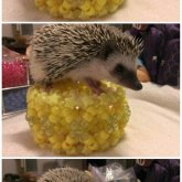 Hedgehog And A Cuff