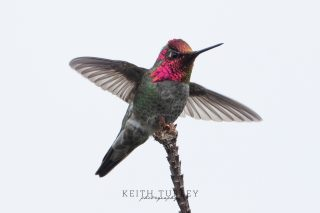 Hummingbird Flying 0251