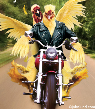 Funny-chickens-riding-motorcycle
