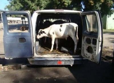 Ladrones de vacas en ambulancia