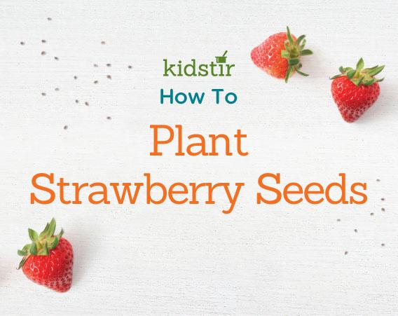 Planting strawberry seeds