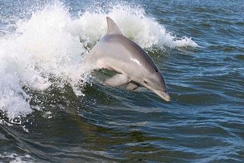 Sea Surfer