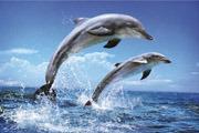 Preview dolphin pre