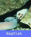 Hagfish are also known as Slime Eels.