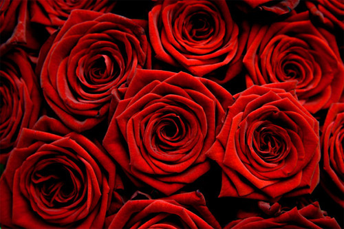 Roses are the most popular flower on Valentine's Day