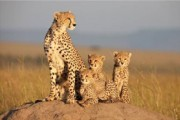 Preview africancats preview