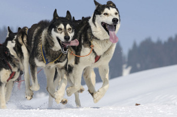 Dog sleds are still used in the arctic