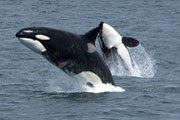 Preview killerwhales pre