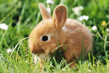 One of the most popular pets is a bunny