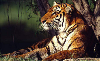 Royal Bengal Tigers are endangered