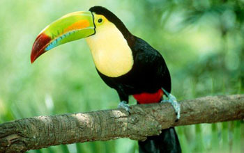 The Toucan and his famous beak