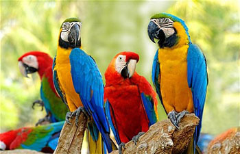A group of colorful macaws relax