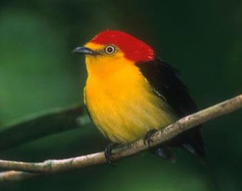 Cute and compact, the Manakin perches on a branch