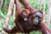 Preview orangutan pre