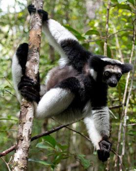 An Indri lemur, the largest living lemur