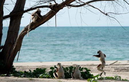 Dancing lemur with buddies