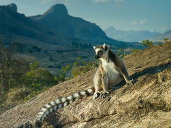 Ring-tailed lemur in the Anje Reserve-Madagascar
