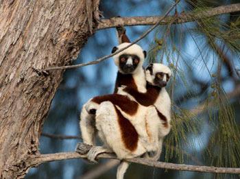 Mom lemur with baby