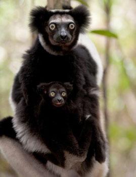 Indri Lemur with baby