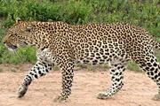 Preview leopard pre