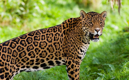 Jaguars are known for their spots