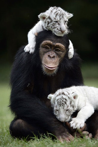 Anjana caring for her adopted cubs