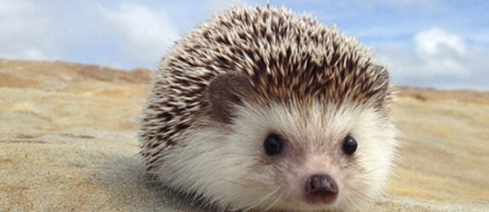 Feature hedgehog feature