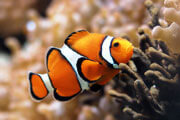 Preview clown fish pre