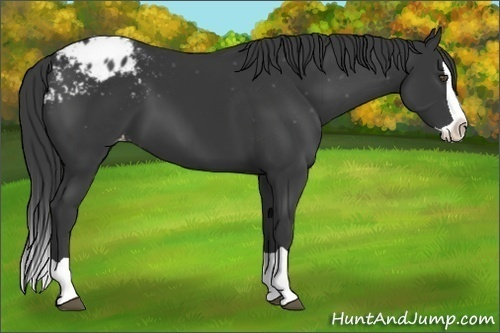 Horse Color:Black Splash Appaloosa