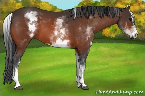 Horse Color:White Spotted Bay Sabino Frame