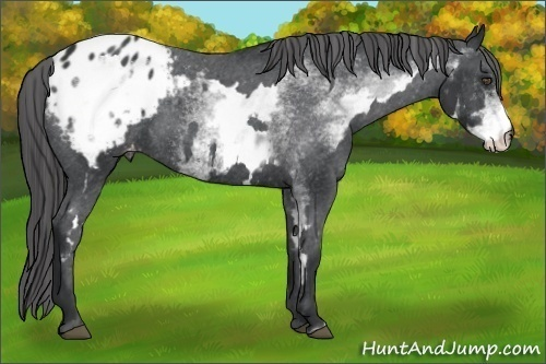 Horse Color:White Spotted Black Frame Appaloosa