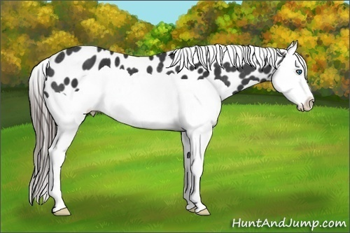 Horse Color:Black Splash Appaloosa Rabicano