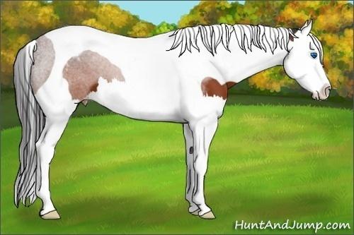 Horse Color:Brown Sabino Splash Tobiano Appaloosa