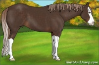 Horse Color:Liver Chestnut Splash