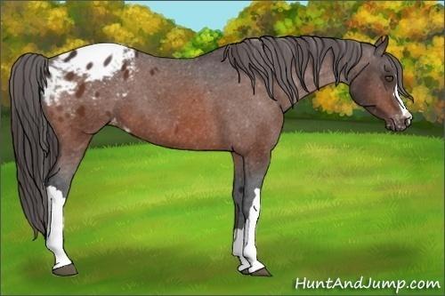 Horse Color:Bay Appaloosa