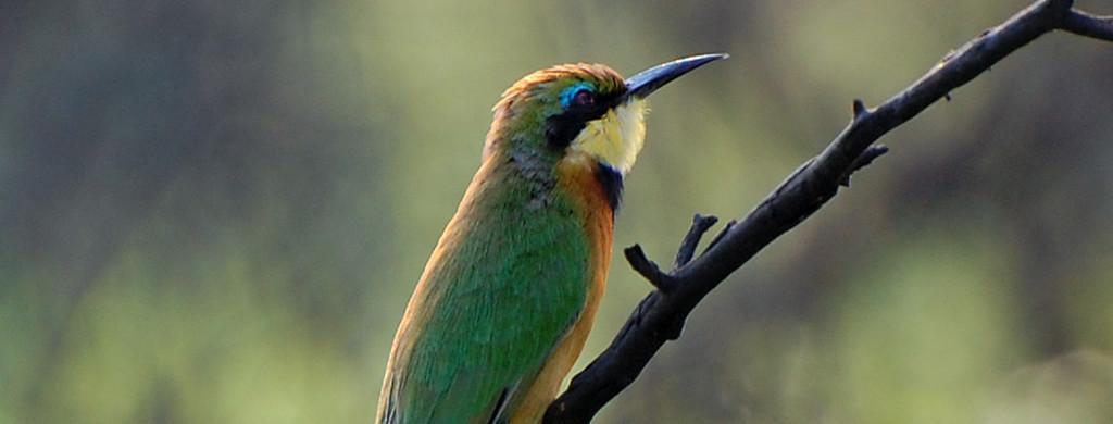 Kf botswana bird pc c.simon 2014
