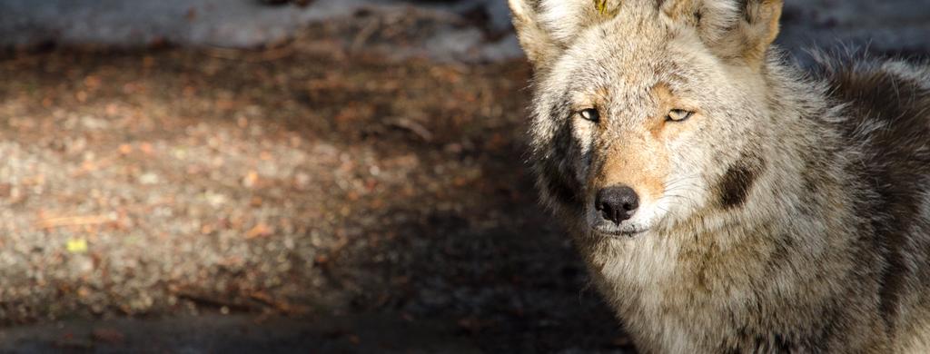 Kf brazil wolf pc l.baumgarten 2009