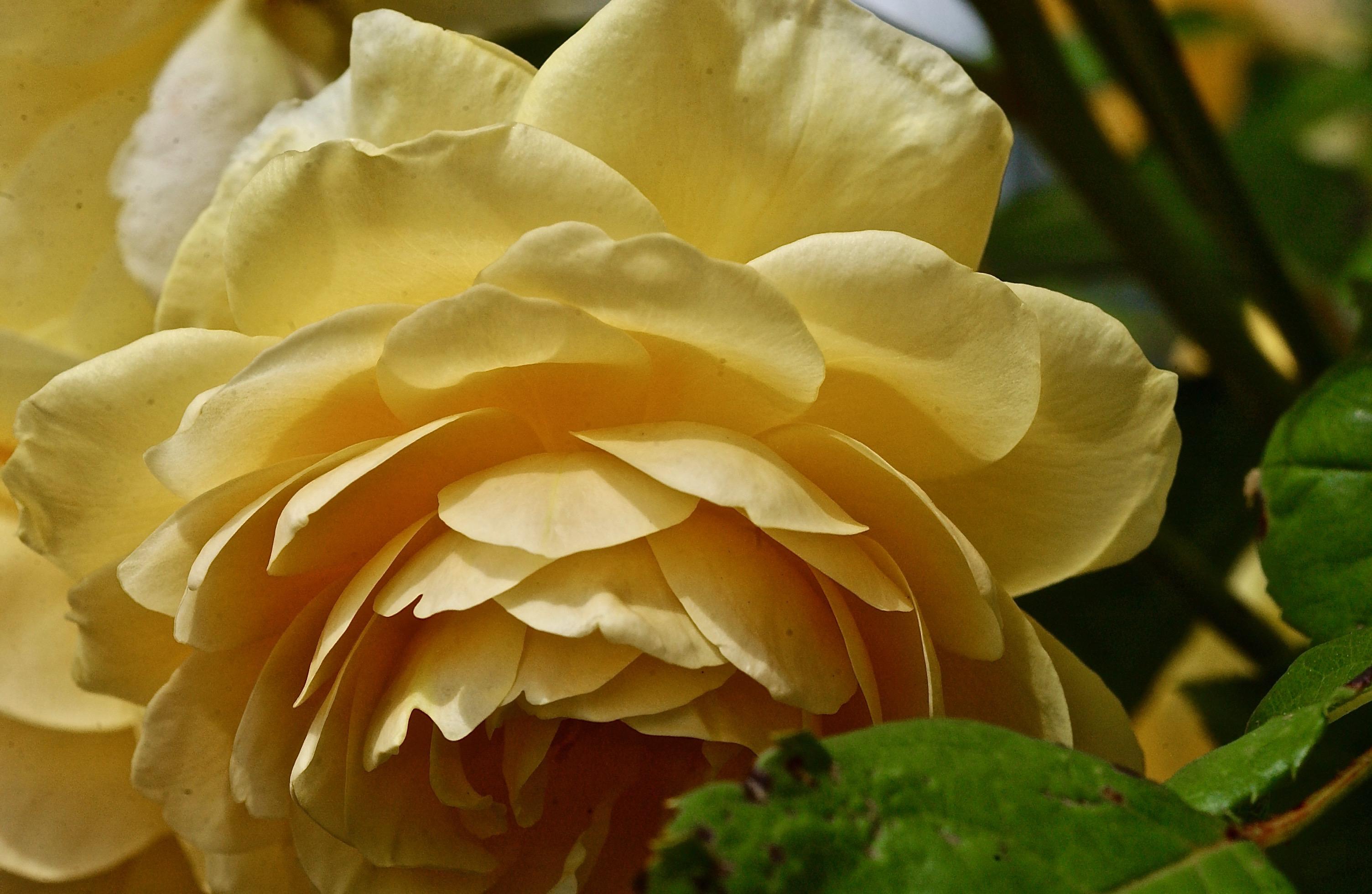 Flower Walk; Edgartown, Martha's Vineyard, Massachusetts, USA