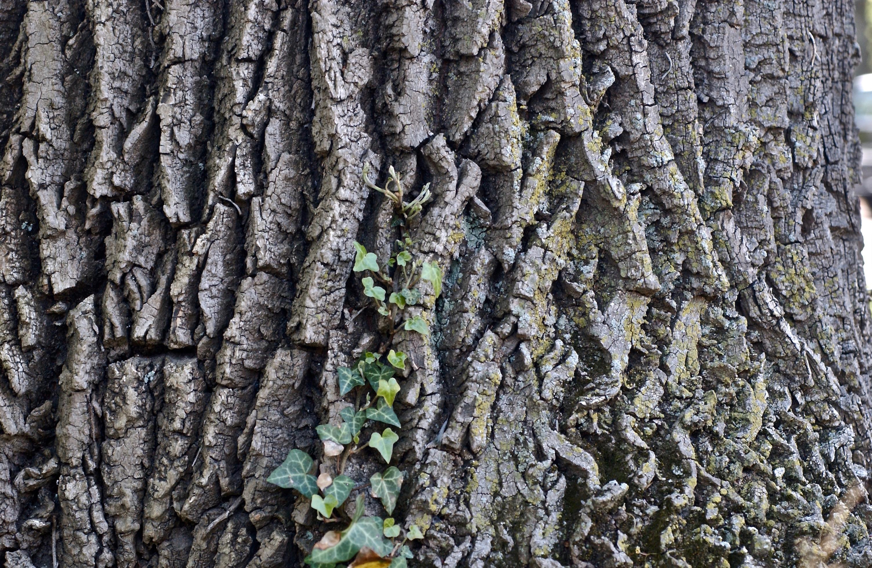 Tree Trunks, Ivy; Morris Arboretum; University of Pennsylvania; Philadelphia, Pennsylvania, USA